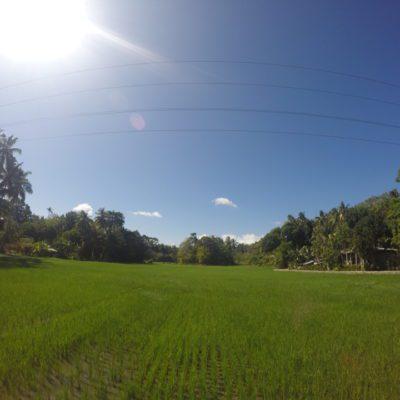 Reisfelder schön grün