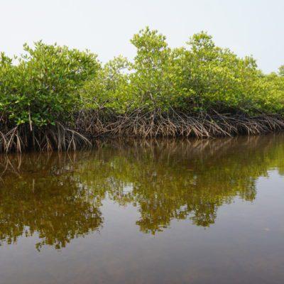 Und wieder schöne Mangroven