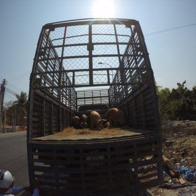 Schweinetransport aus GoPro Sicht