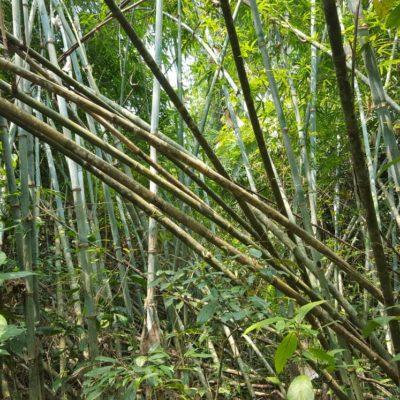 Goiler Bambus