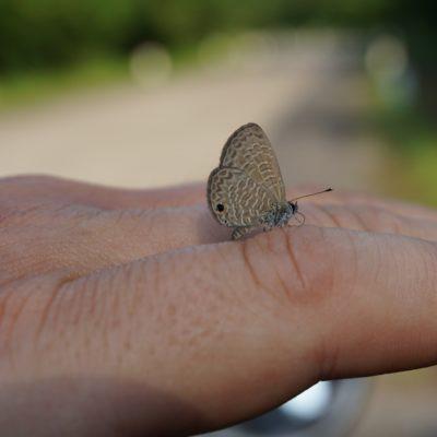 Handzahmer Mini Schmetterling