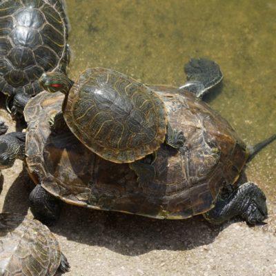 Schildkröte im Doppelpack