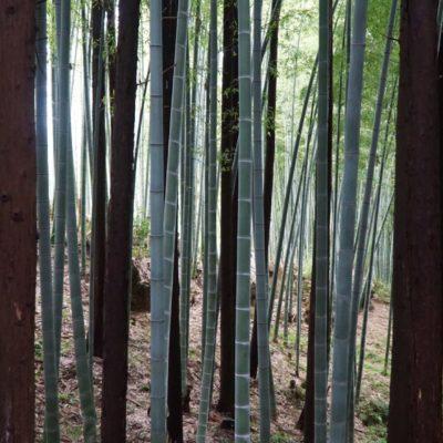 Kleiner Bambuswald am Tempel