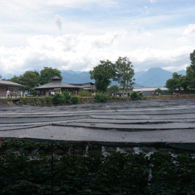 Die Wasabi Farm