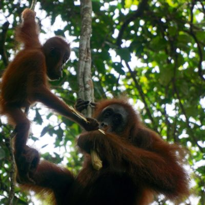 Unsere erste Begegnung mit den Orang Utans. Ein absolutes Gänsehaut Erlebnis