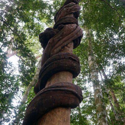 Liane kilt Baum