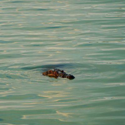 """Auf einmal """" steht """" da ein Krokodil vor uns...."""