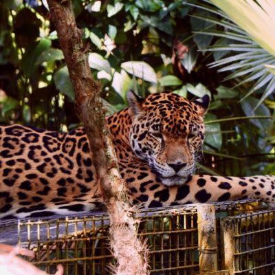 Ein kleiner Jaguar