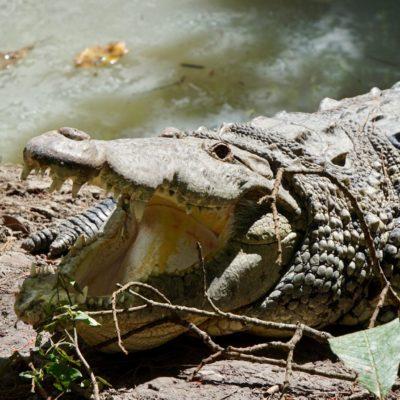 Ein hungriges Krokodil