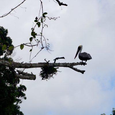 Unser Freund der Pelikan