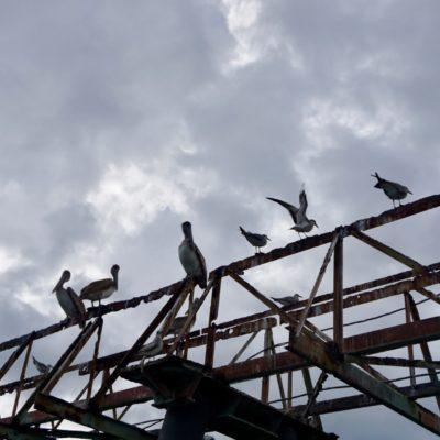 Wieder unsere Pelikane