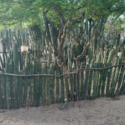 Schweinestall a la Kaktus