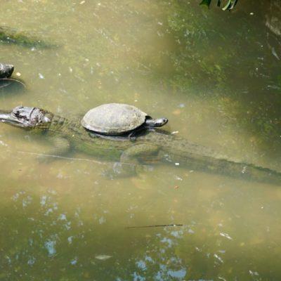 Im Zoo. Faule Schildkröte auf Krokodil
