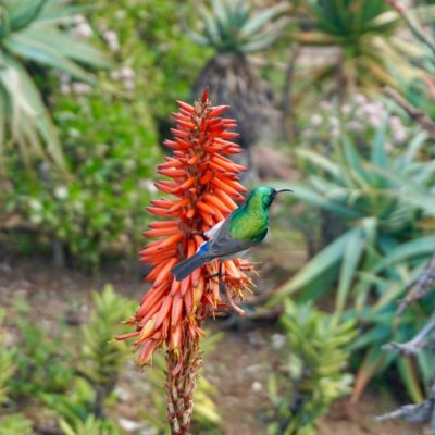 Kirstenbosch Botanischer Garten