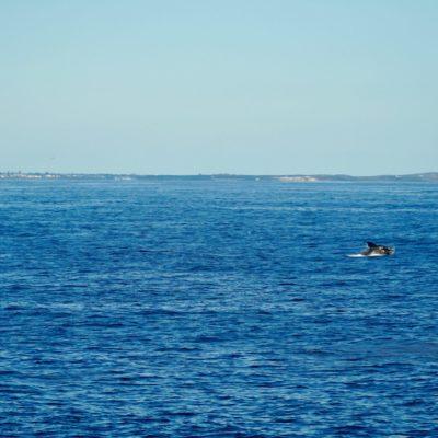 Viele Wal hier in der Bucht