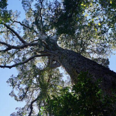 Der BIG TREE von Storms River. 1000 Jahre alt soll der Kollege sein. Ein echtes Prachtstück