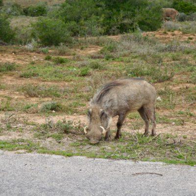 Ein Wild Wahnsinns Schwein
