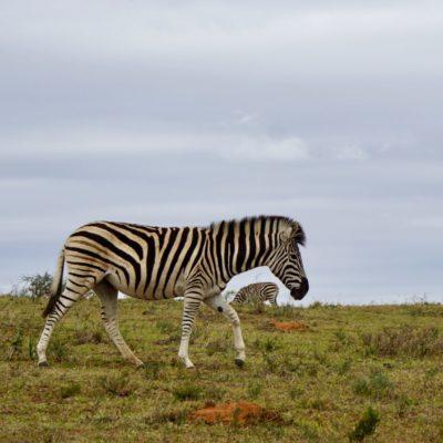 Unser erstes Zebra. Wie ein Pferd, bloß ganz anders