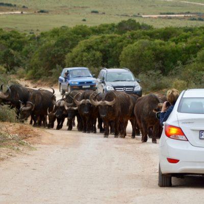 Eine Herde Büffel auf der Autobahn. Oder waren wir falsch ?