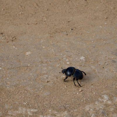 """Ein """" Flightless Dung Beetle """" = Flügelloser Mistkäfer"""