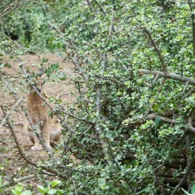 Eine kleine Wildkatze versteckt sich im Gebüsch