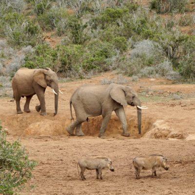 Elefant und Schwein vereint