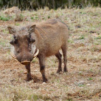 Riesen Wildschwein