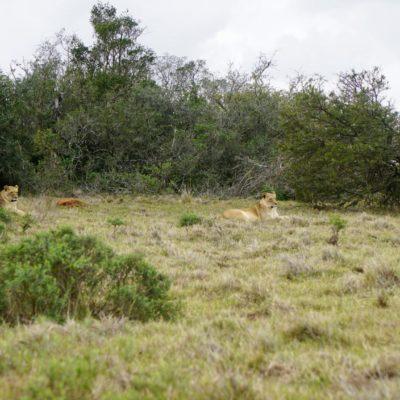 Da liegen sie, die Löwen