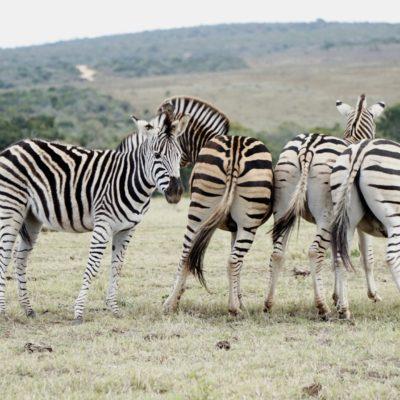 Zebra-Kuschelrunde