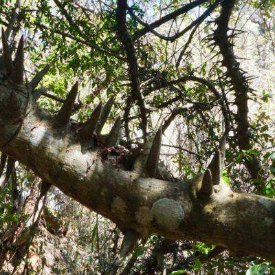 Der Christusbaum