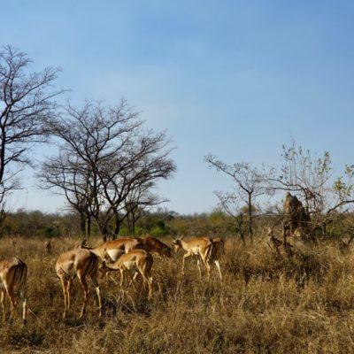 Impala-Damen