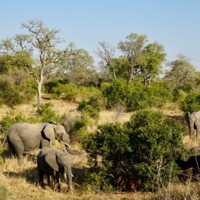 Elefantenfamilie beim Frühstück
