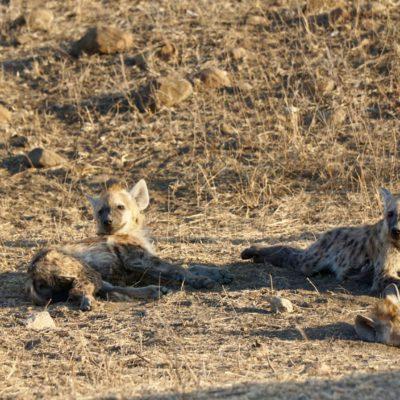 Hyänen-Kinder