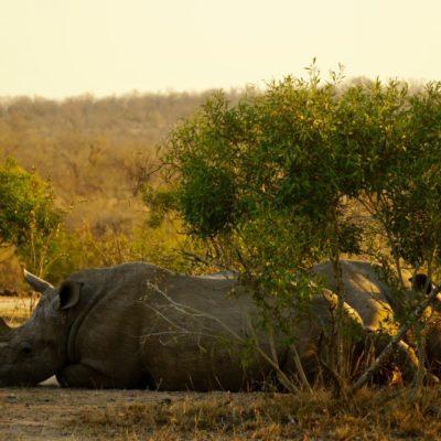 Nashörner Bein Nachmittags-Nickerchen