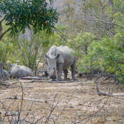 Nashörner im Busch