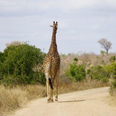 Giraffenstreifzug