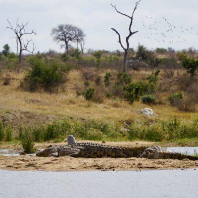 Krokodil beim Sonnen
