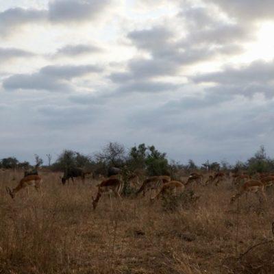 Impala-Herde