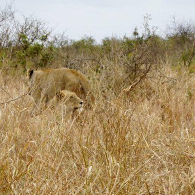 Löwen-Damen, sie hatten auch ein Baby dabei, sieht man aber leider im hohen Gras nicht