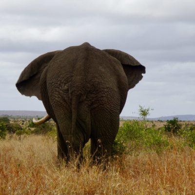 Elefantenar....