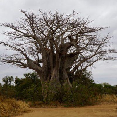 Ein Baobab = Affenbrotbaum