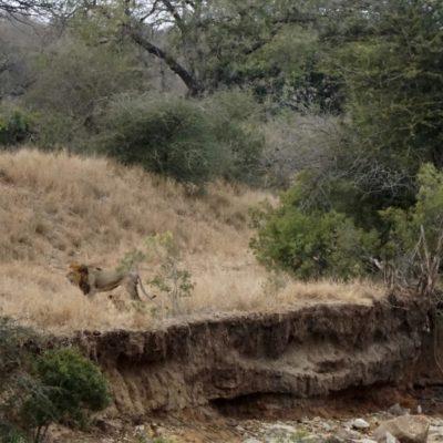 Ein Löwen-Päärchen
