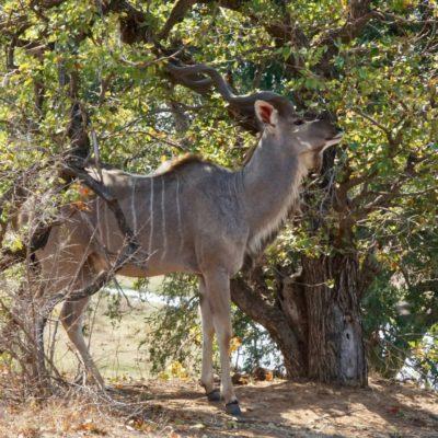Hübscher Kudu-Mann