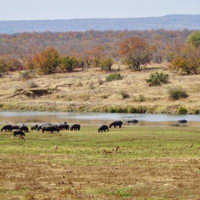 Nilpferde und Impalas friedlich beim Grasen