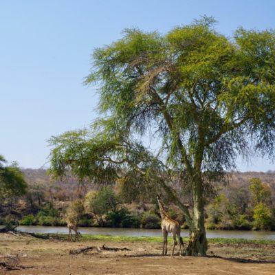 Tolle grüne Bäume, das gefällt auch den Giraffen